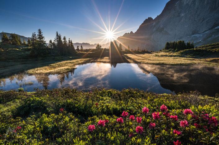 Grosse Scheidegg Apenrosen