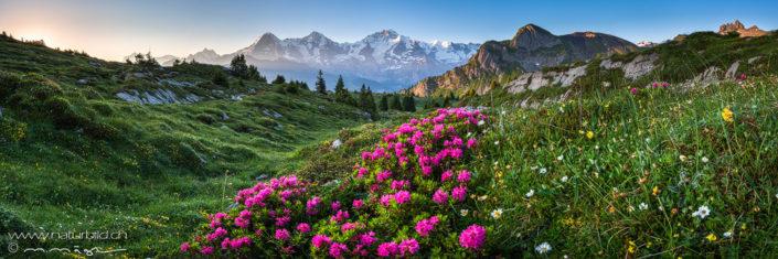 Panoramafoto Jungfrau Alpenrosen