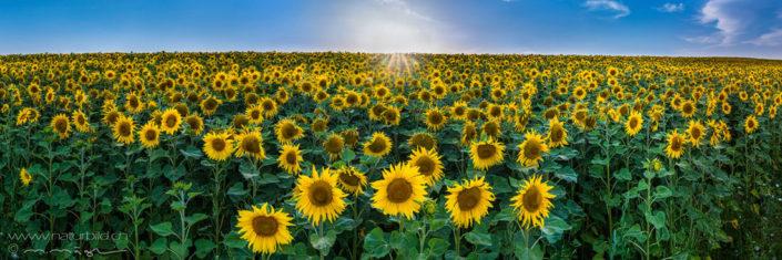 Panorama Sonnenblumen Meer