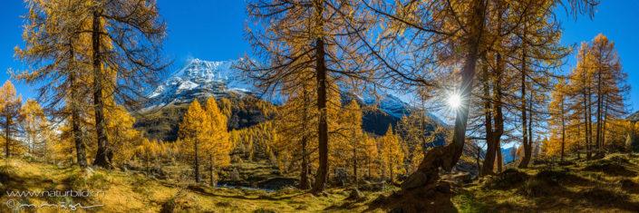 Panorama Loetschental Birken Herbst