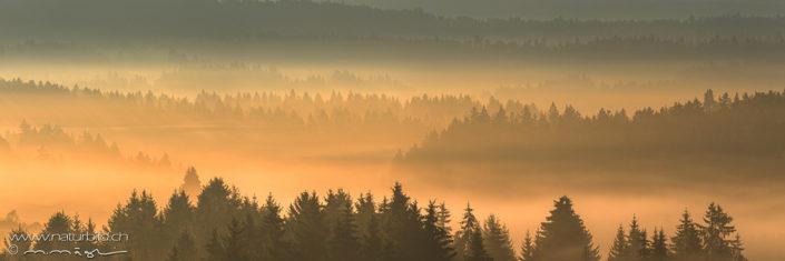 Panorama Tannen Nebel