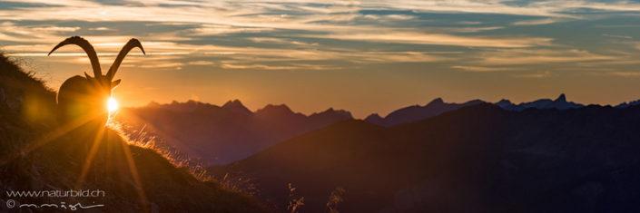 Panorama Steinbock Sonnenuntergang