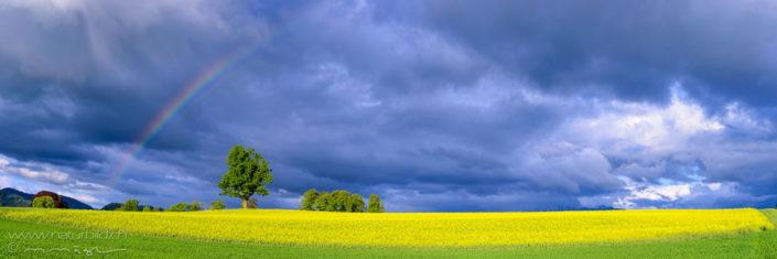 Panorama bluehendes Feld Regenbogen