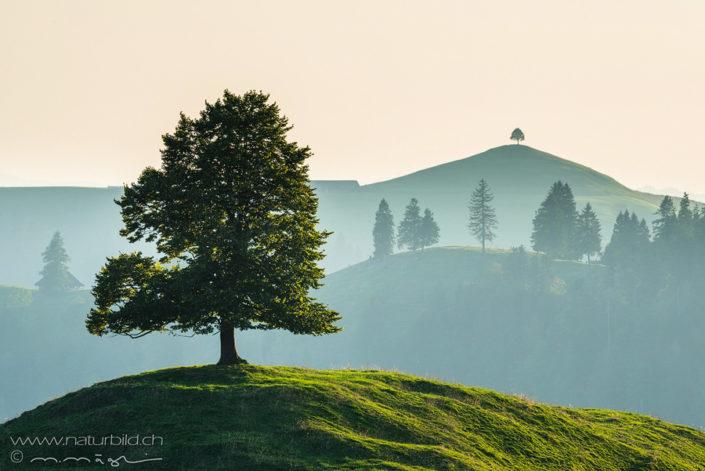Solitärbaum Emmental Hügel