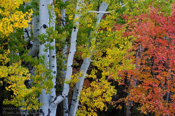Utah Baum Herbst