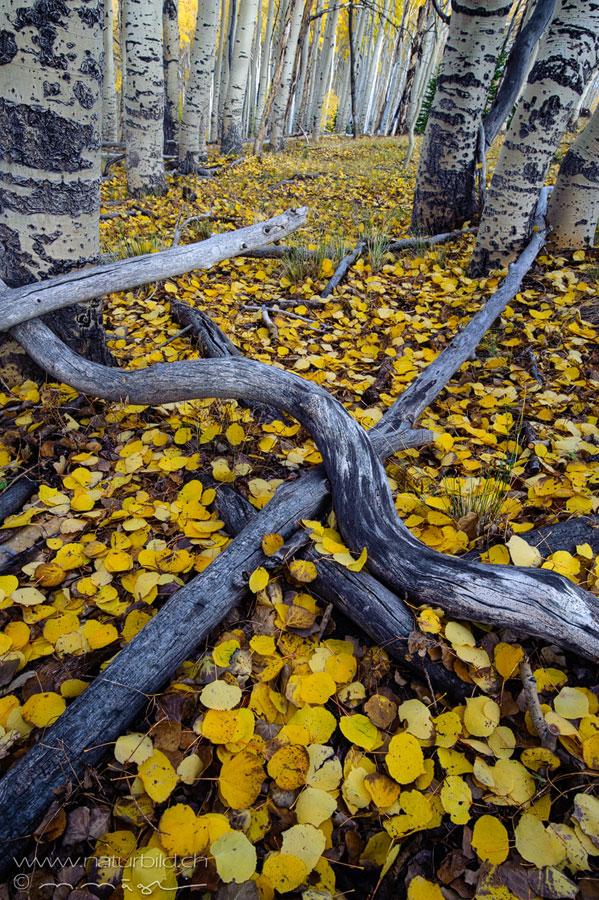 Utah Baumstaeme Blaetterteppich