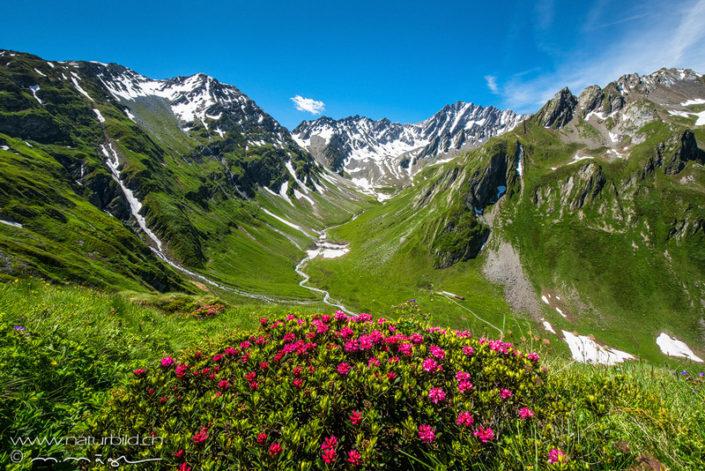 Alpenrosen Gruen Val Ferret