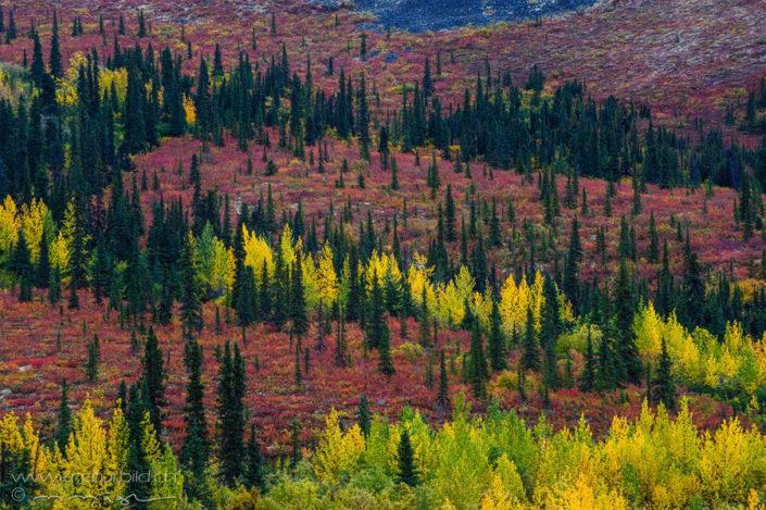 Yukon Herbst Wald