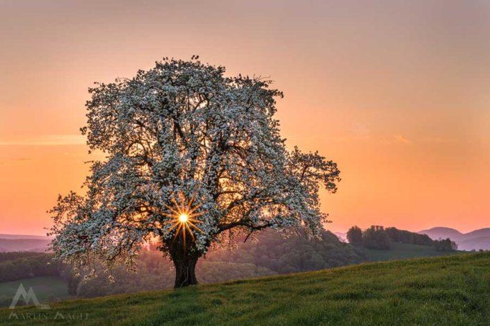 Blühender Birnbaum Baselbiet