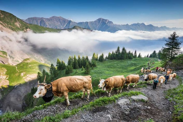 Alpaufzug Engstligenalp Adelboden