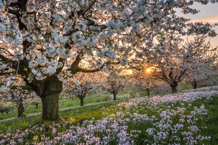 Kirschblüte Blust Arisdorf