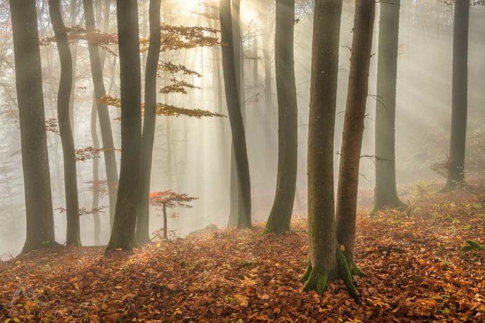 Buchenwald Herbst Aargau