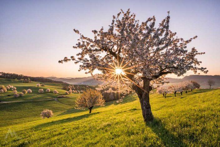 Kirschblüte Jurapark Fricktal