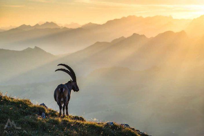 Steinbock Ibex Alpen
