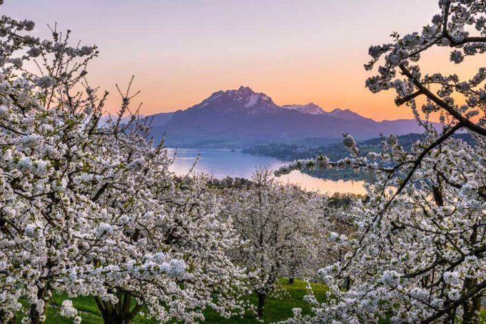 Küssnacht Pilatus Kirschblüte
