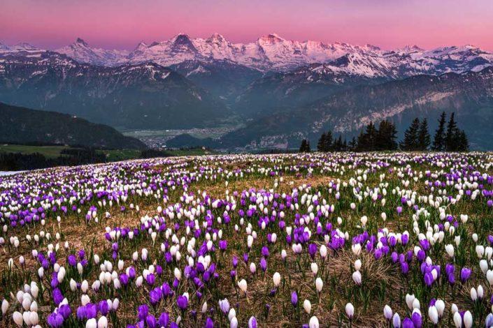 Krokusse Niederhorn Interlaken
