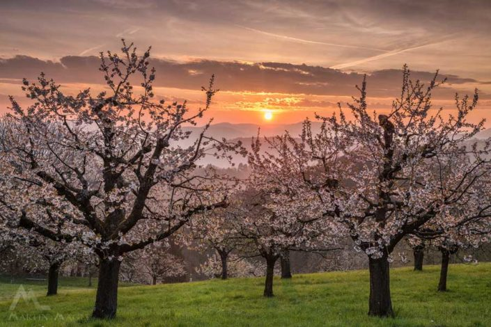 Kirschblüte Nuglar Sonnenaufgang
