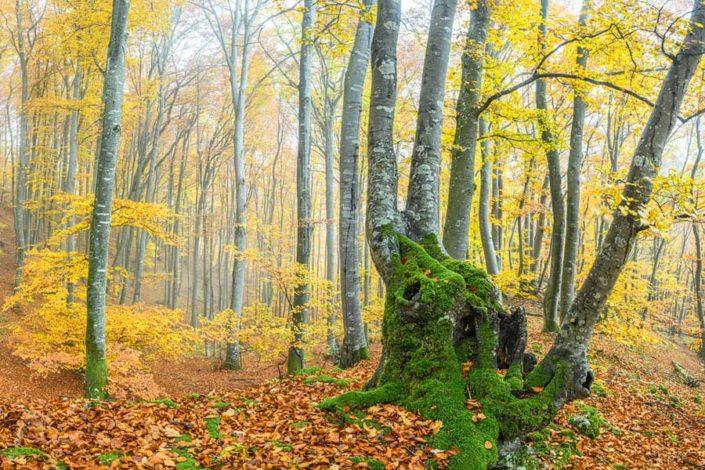 Aargau Buchenwald Herbst