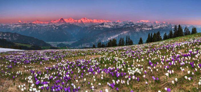 Berner Alpen Krokuss Panorama