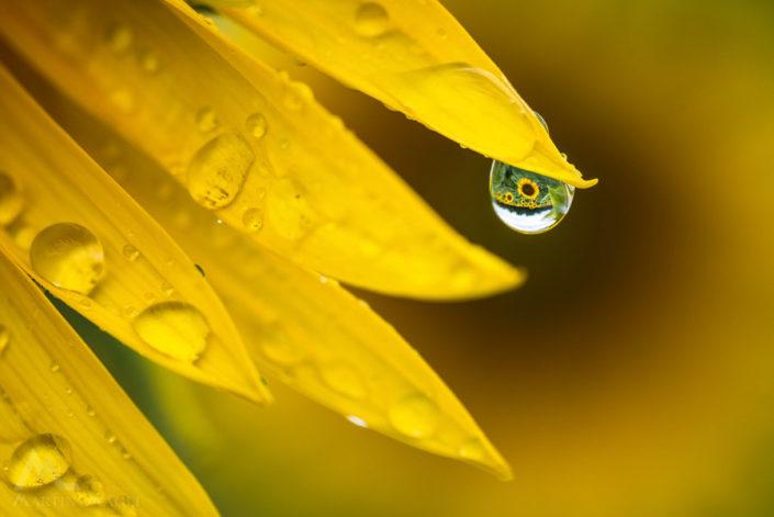 Sonneblume Tropf Detail