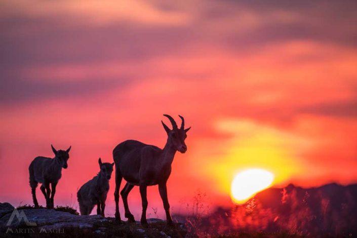 Steingeiss Junges Sonnenuntergang