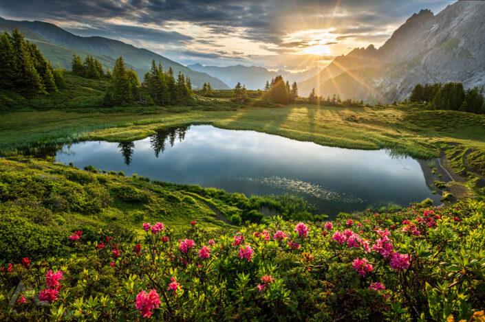 Alpenrosen Berge Schweiz